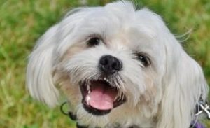 Maltese puppies are usually happy dogs