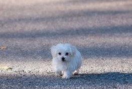 Walking Maltese