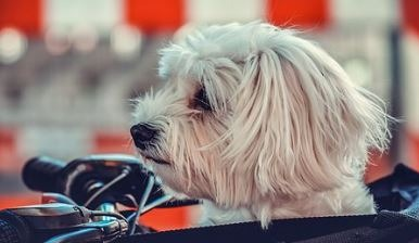It Is Time For A Hair Cut For Your Maltese