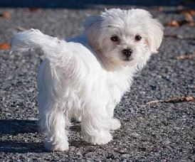 Maltese like to bark at other dogs and people on walks