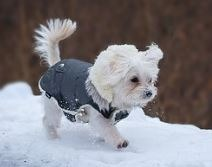 Maltese exercising even in the cold.