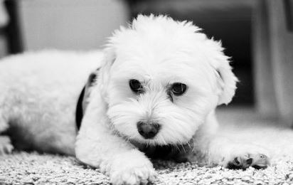 Is your Maltese misbehaving and barking all the time ?