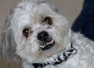 Aggressive Maltese dog