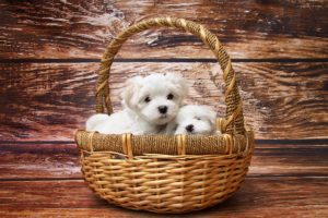 Maltese Puppies from Pregnancy