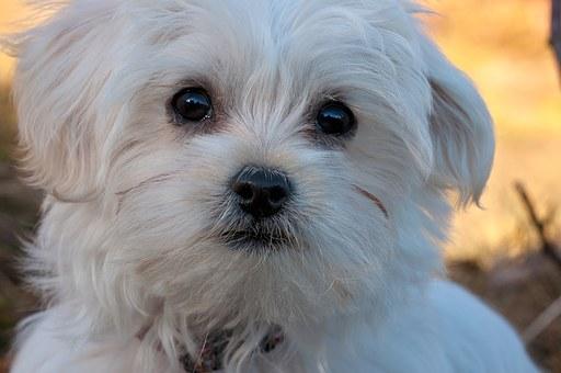 Maltese dog love