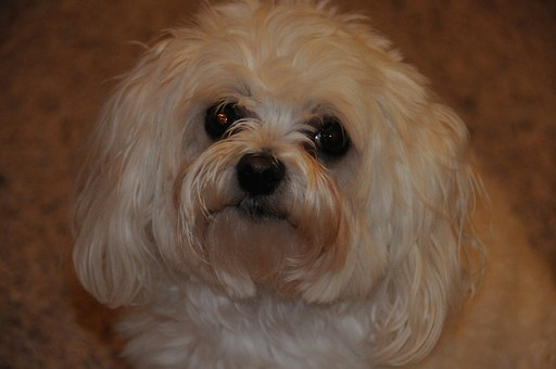 black nose Maltese
