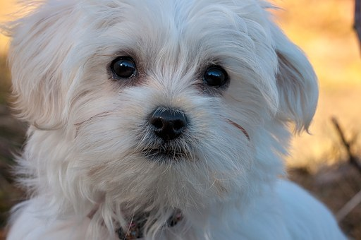 When to seek Medical advice for your Maltese puppy?