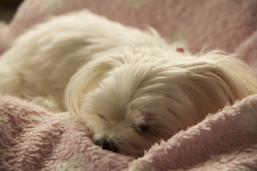 Sleeping Maltese with silky smooth hair