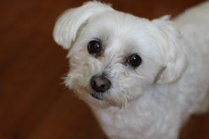 Freshly bathed Maltese dog