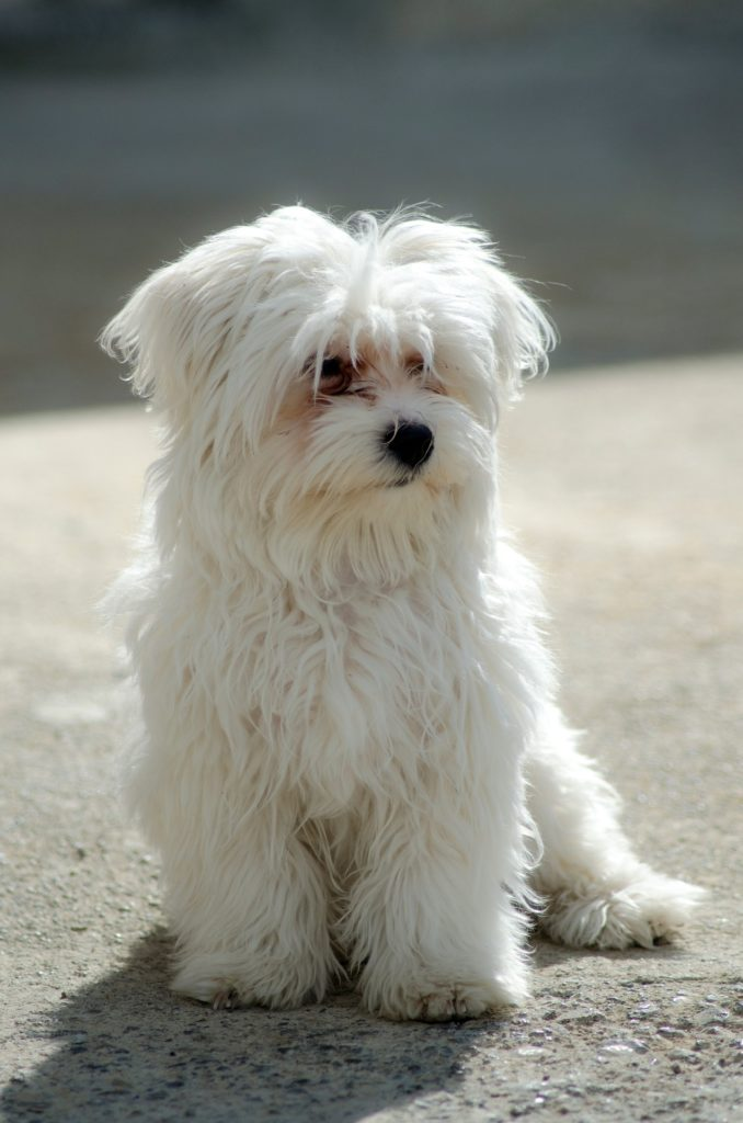 Fluffy White Maltese