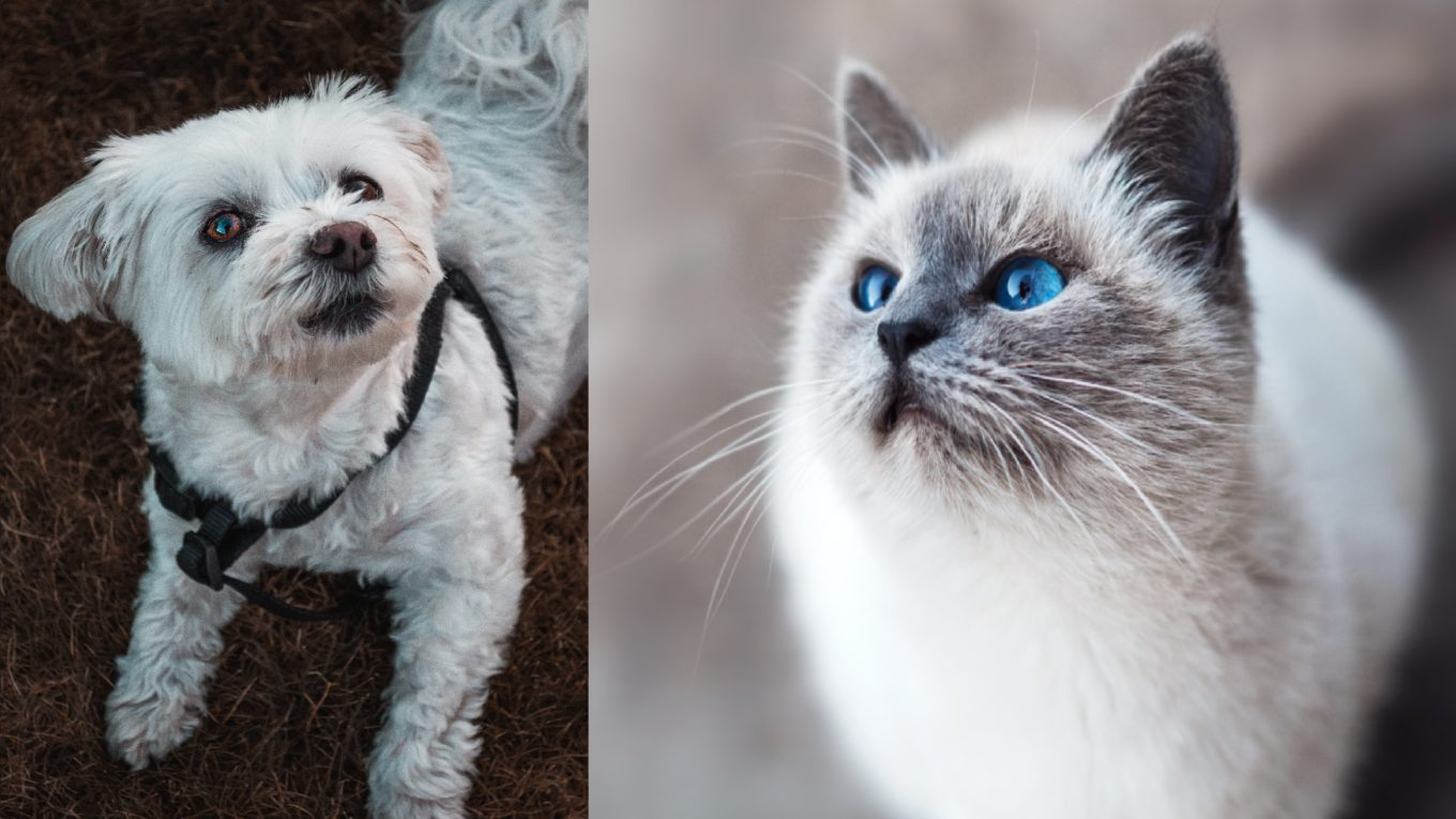 Maltese Dog and Cat