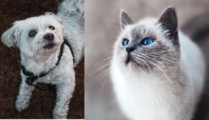 Maltese Dog and Cat