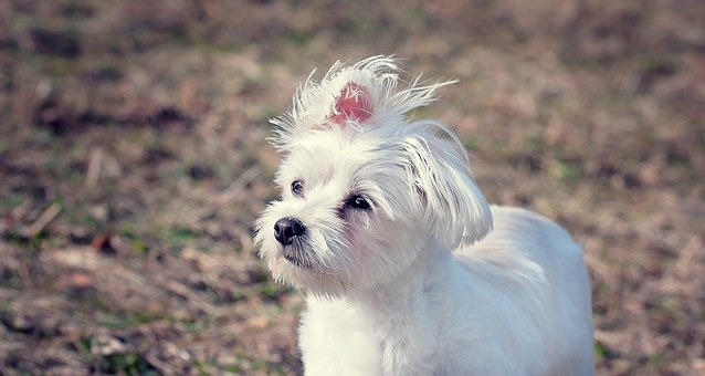 White Shaker Syndrome can affect Maltese Puppies