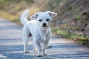 Young skinny Maltese puppy