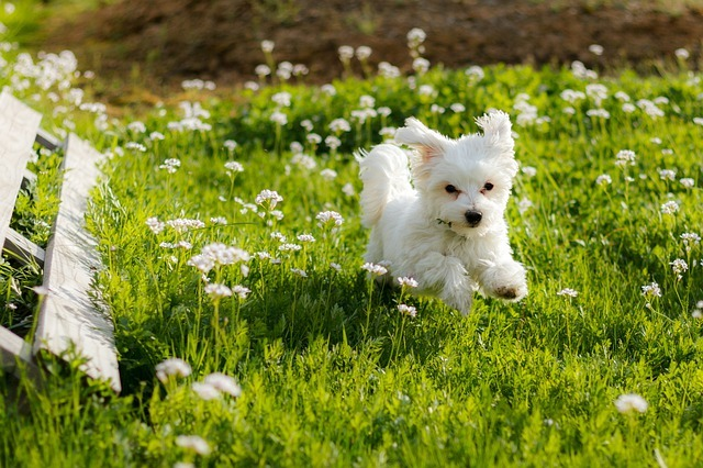 Maltese dog running in the grass